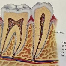 רקמת מוך בשיניים בריאות